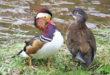 Babie leto skačicou mandarínskou na Zlatňanke